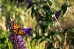 Motýl v Christchurch
