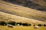 Novozélandské ovečky