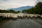 Ovce na silnici