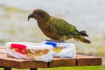 Kea wants to eat our lunch