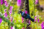 Tui - ohrožený novozélandský ptáček