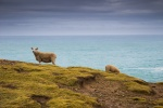 Sheeps on the cliffs
