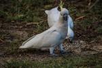 Bílý papoušek kakadu v kempu