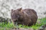 Pozor, wombat se řítí!