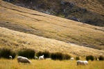 New Zealand sheeps