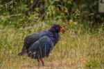 Slepička Takahe