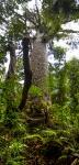 Tane Mahuta - největší strom kauri na světě